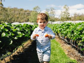 Young boy in a strawberry patch