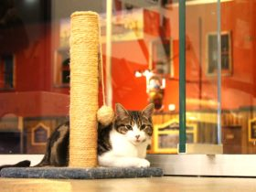 Hobart Cat Cafe Cat Pablo