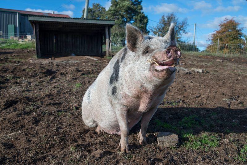 Pinot the Pig at Holm Oak Wines Tamar Valley Tasmania