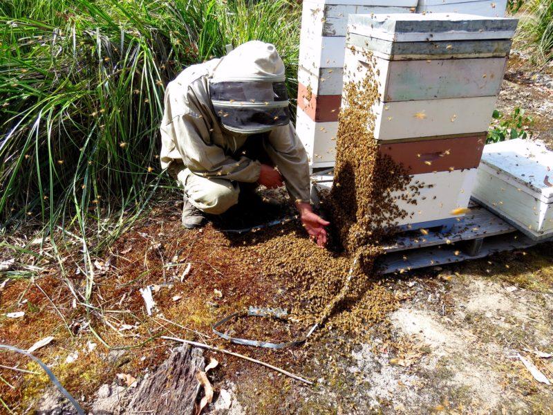 Head Beekeeper enjoying the bees West Coast Tasmania