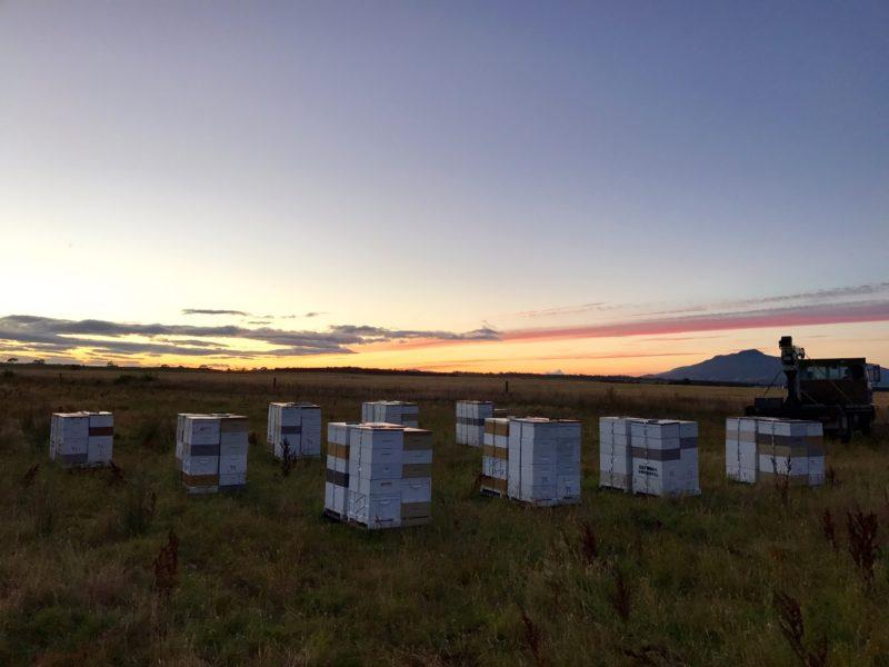 Early Morning Beehives Tasmania Midlands Pollination