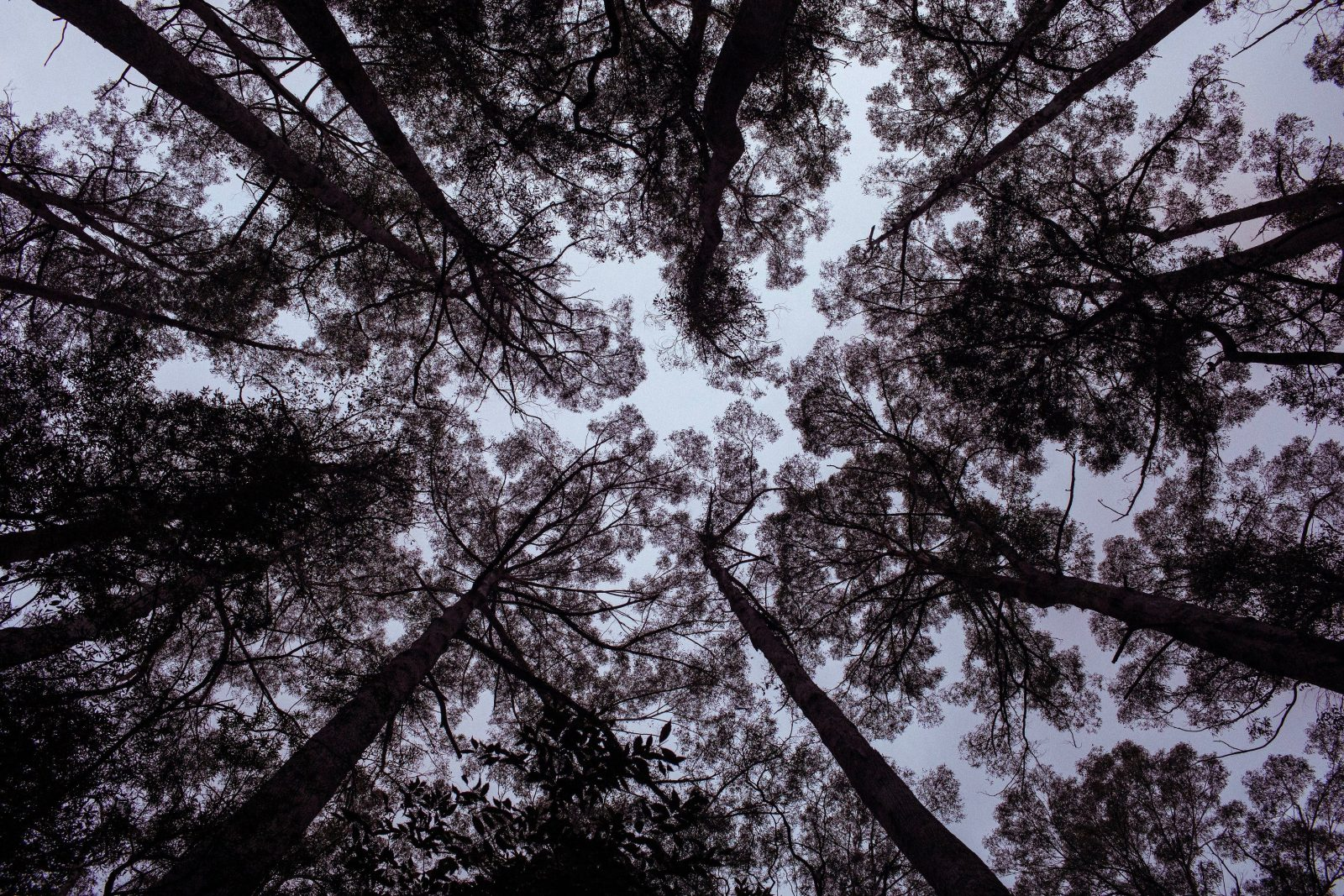 Looking skywards in the Hastings Caves State Reserve forest during Hrafn: Conversations with Odin