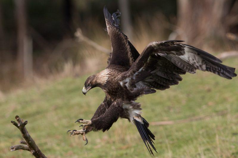 Wedge Tailed Eagle - Inala Nature Tours