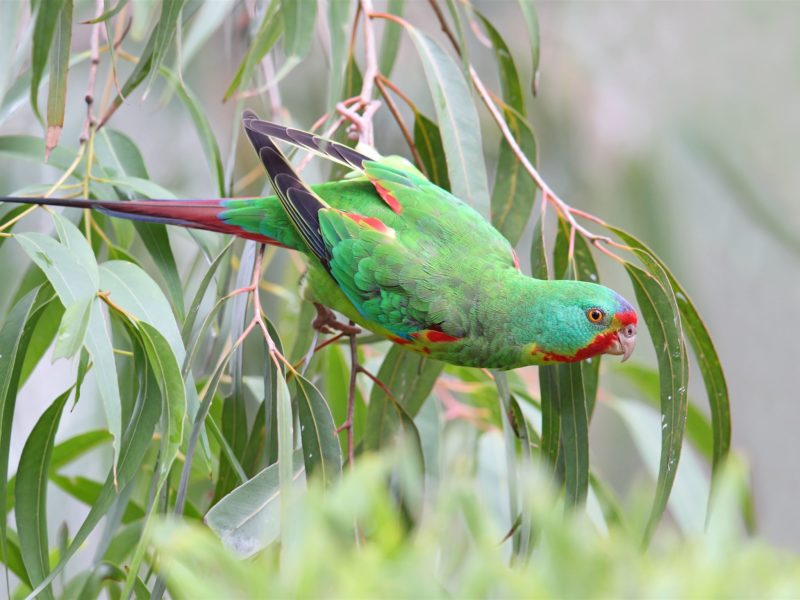 swift parrots nest on the Inala Reserve