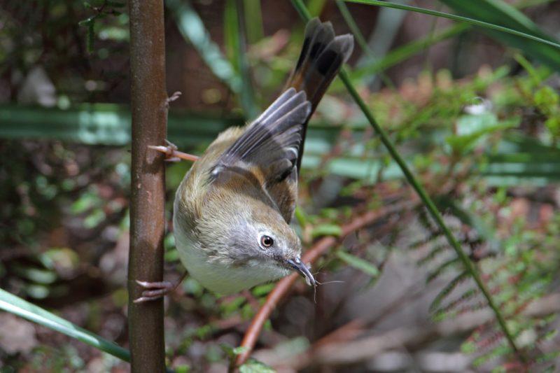 Tasmanian Scrubtit - Inala Nature Tours