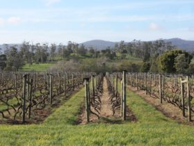 Pinot Grigio vines after pruning