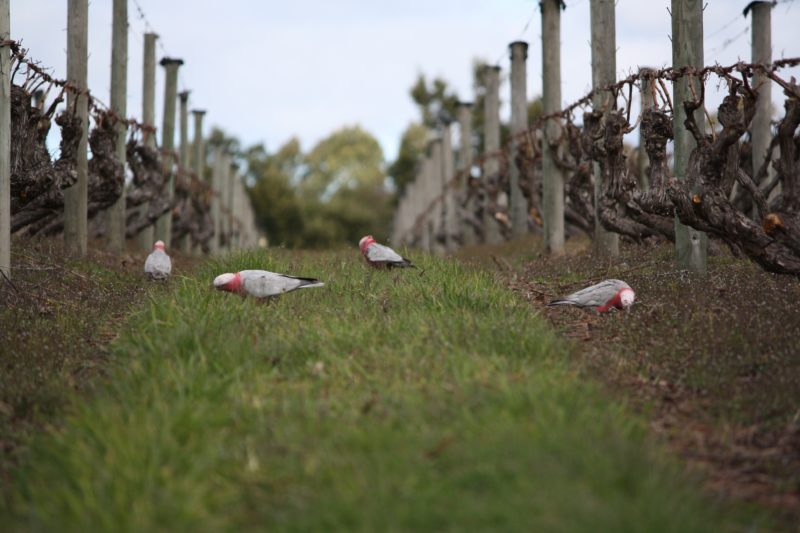 A small flock of galahs enjoying a winters day