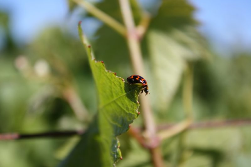 A ladybird in Vineyard 1 North