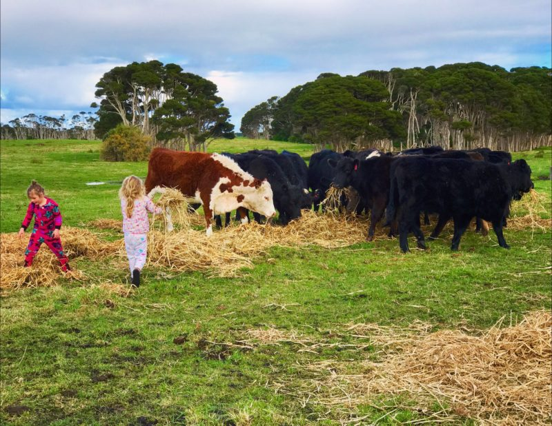 Cows grassfed beef king island
