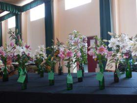 Oriental Hybrid Lilium Seedlings
