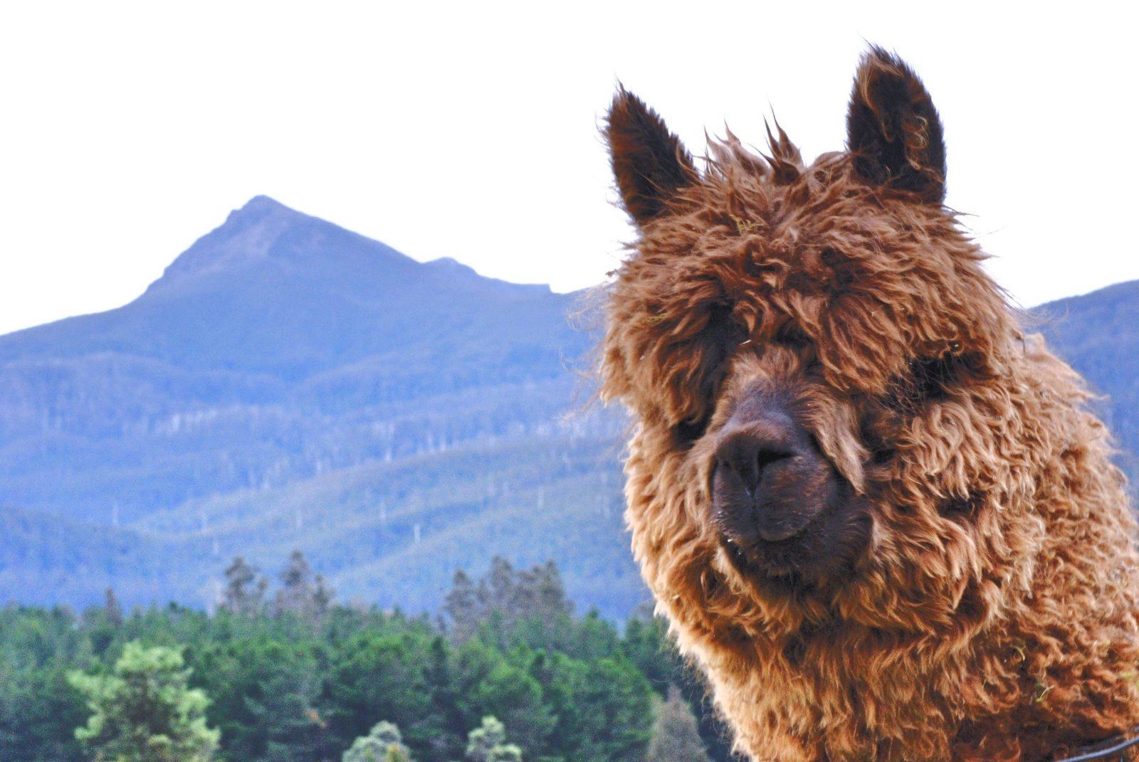 Maydena Mountain Cabins alpacas and mountain views