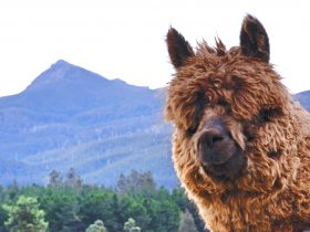 Maydena Mountain Cabins alpacas and mountain views