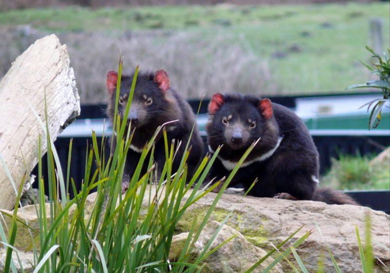 Tasmanian Devils at Trowunna Wildlife Park