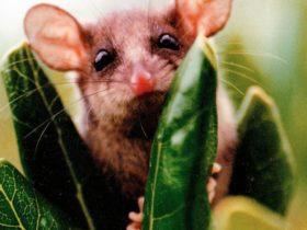 Peekaboo Pigmy Possum Pegarah Private Nature Reserve