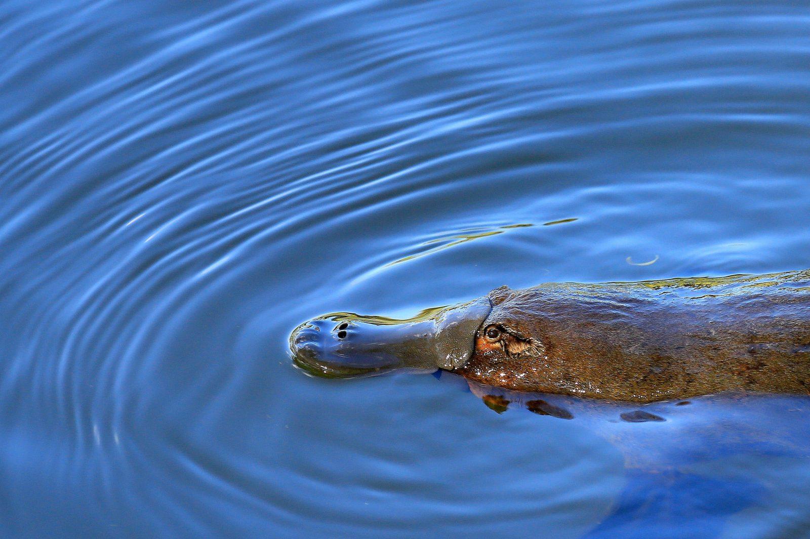 Platypus in the wild