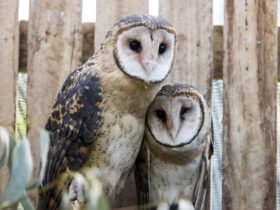 Photo of two Tasmanian masked owls