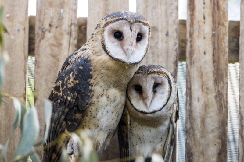 Photo of two Tasmanian masked owls