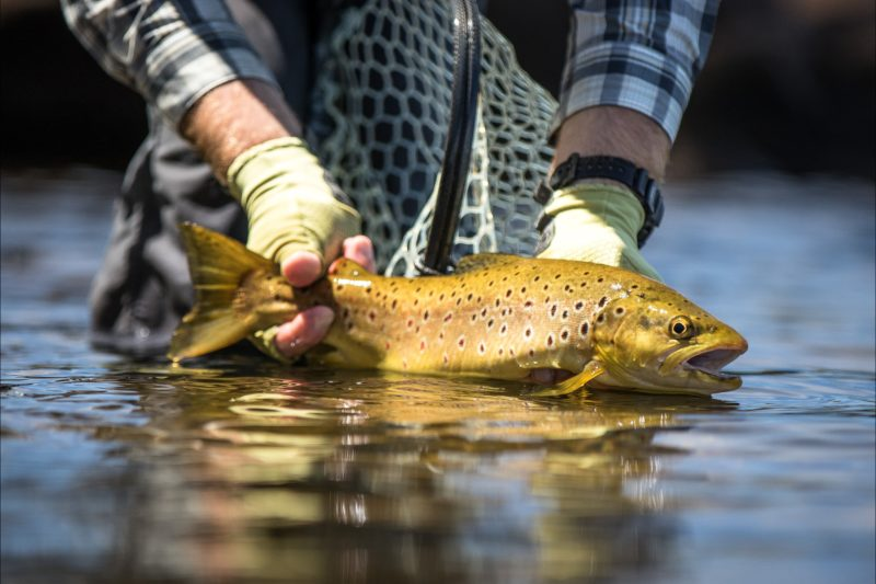 A wild Tasmanian trout being released