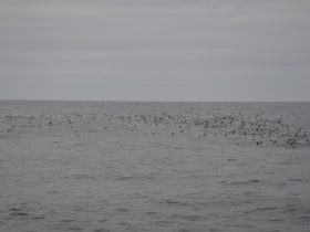 Shearwaters over the ocean