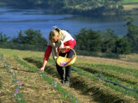 Harvesting saffron flowers overlooking the picturesque Huon River