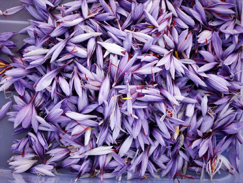 Lilac coloured saffron flowers after being picked early in the morning