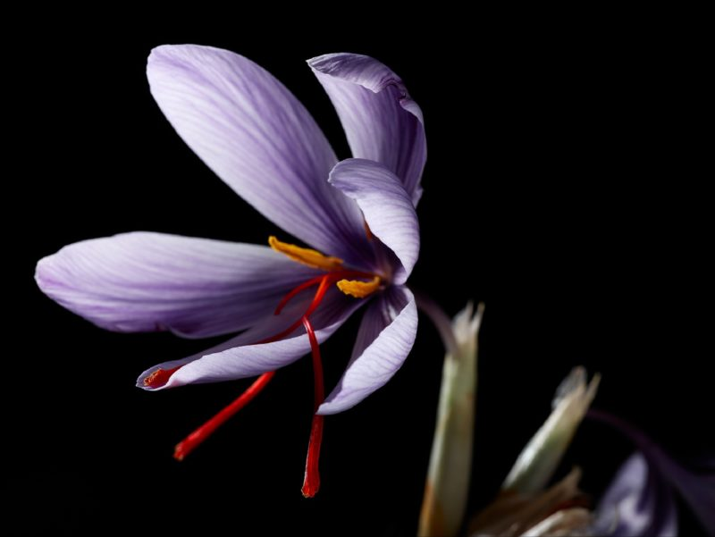 Red saffron threads protruding from lilac saffron flower