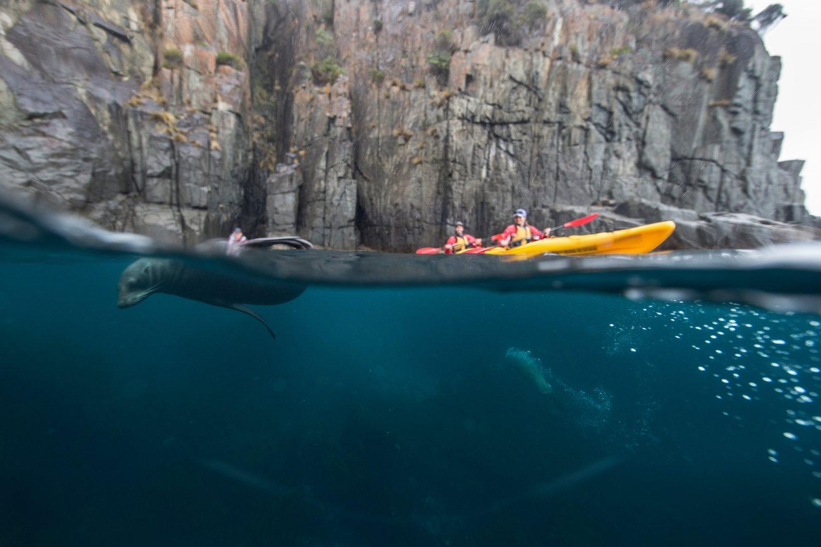 Kayakers with seals playing around their kayaks, Tasman National Park