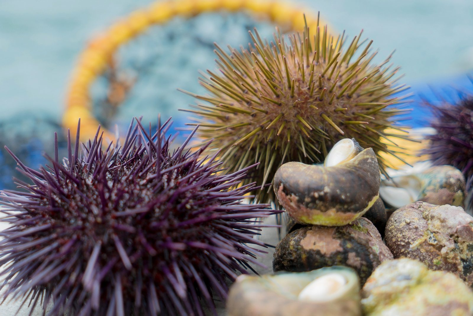 Periwinkles and Seaurchin