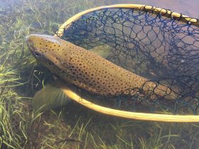 brown trout ready to be released from a landing net