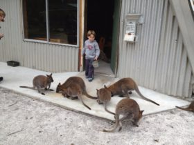Feeding the Wallabies at the Patriarchs Wildlife Sanctuary
