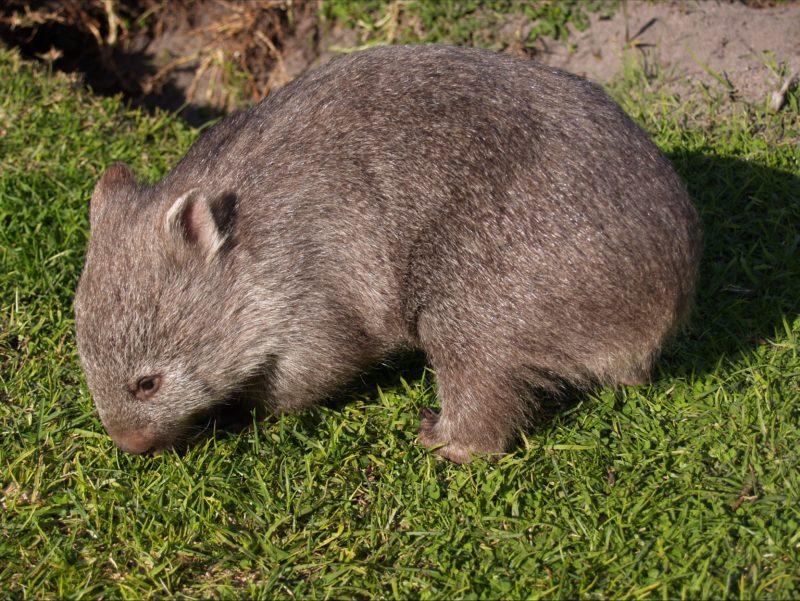 Wombats Patriarchs Wildlife Sanctuary Flinders Island Tasmania