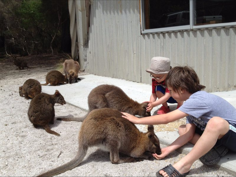 Feeding the Wallabies at the Patriarchs Wildlife Sanctuary Flinders Island Tasmania