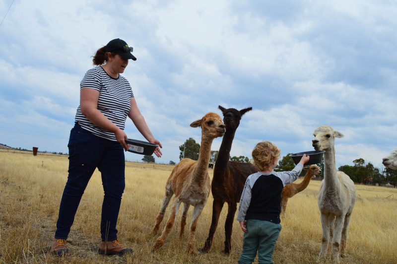Lad and child feeding alpacas