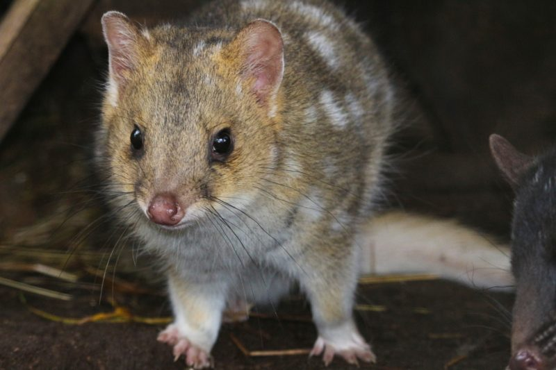 Eastern Quoll Trowunna Wildlife Sanctuary