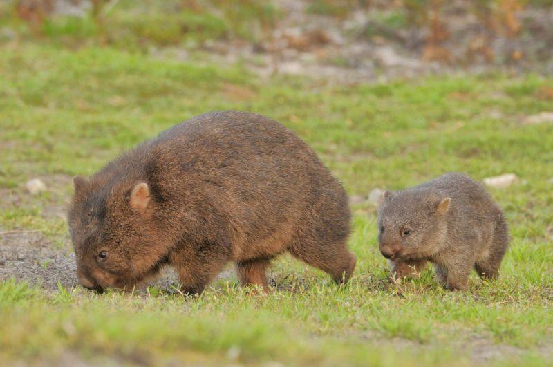 Wombat & Joey Trowunna Wildlife Sanctuary
