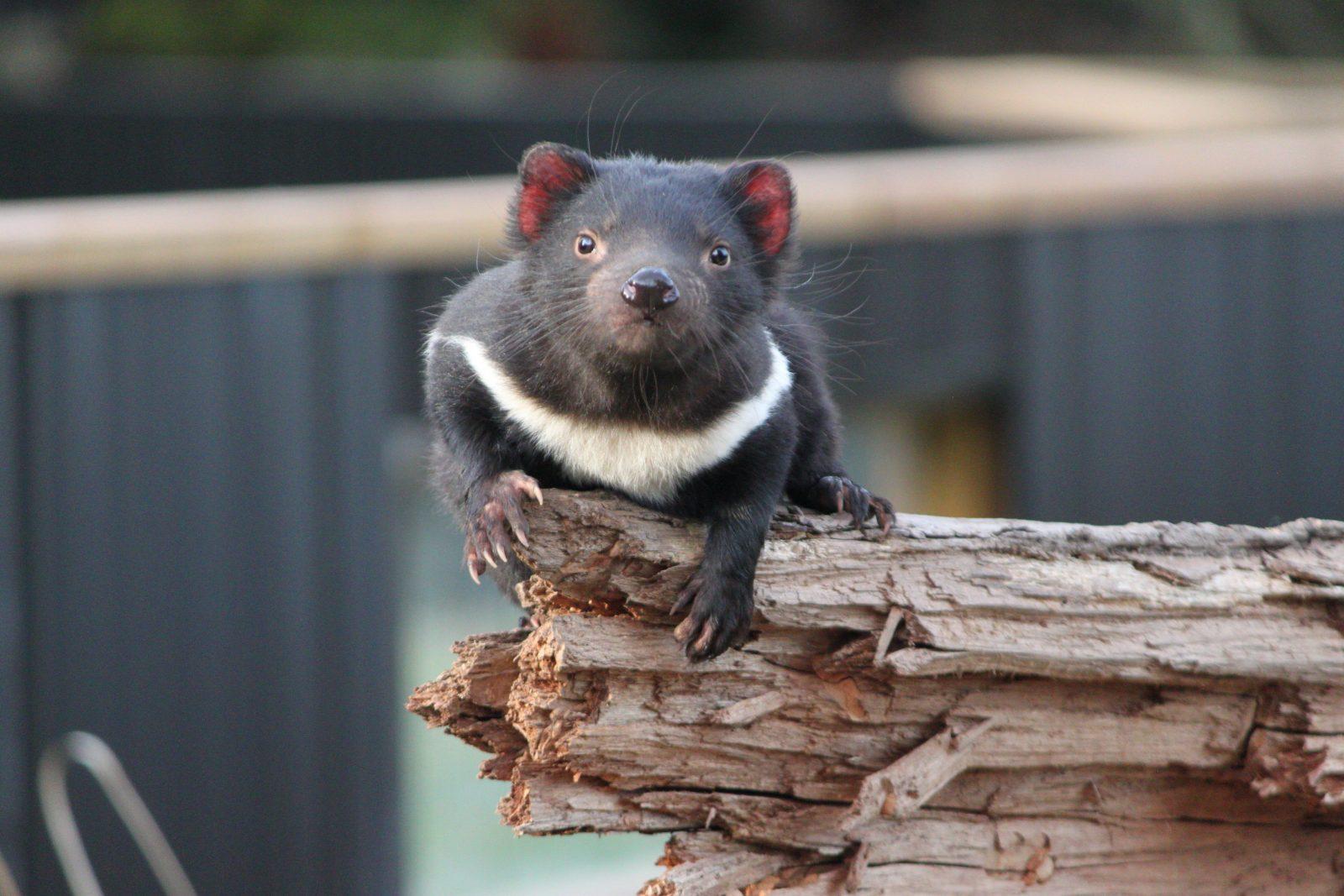 Tasmanian Devil Trowunna Wildlife Sanctuary
