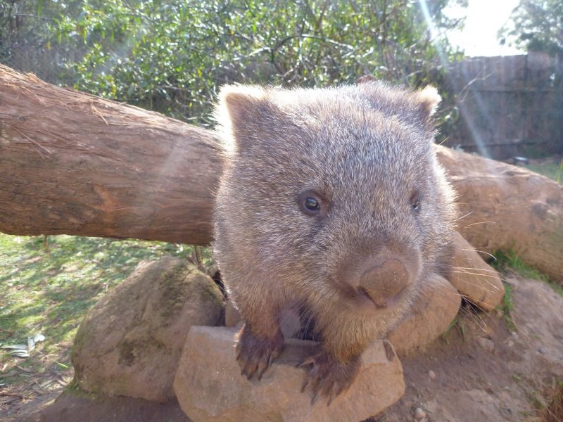 Up close view of a Tasmanian wombat