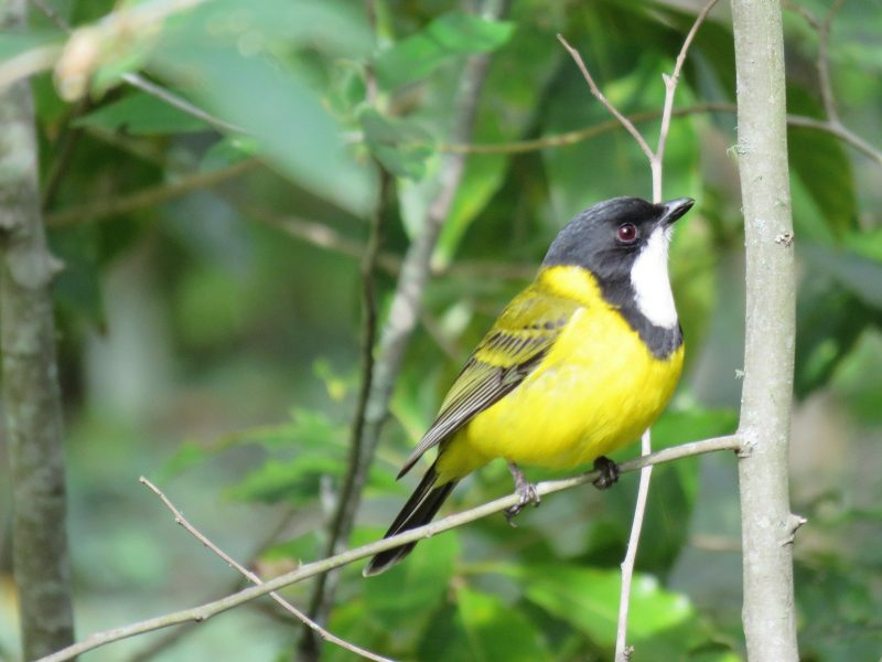 Bird singing Golden Whistler