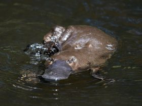 A very friendly Platypus seen on our tour