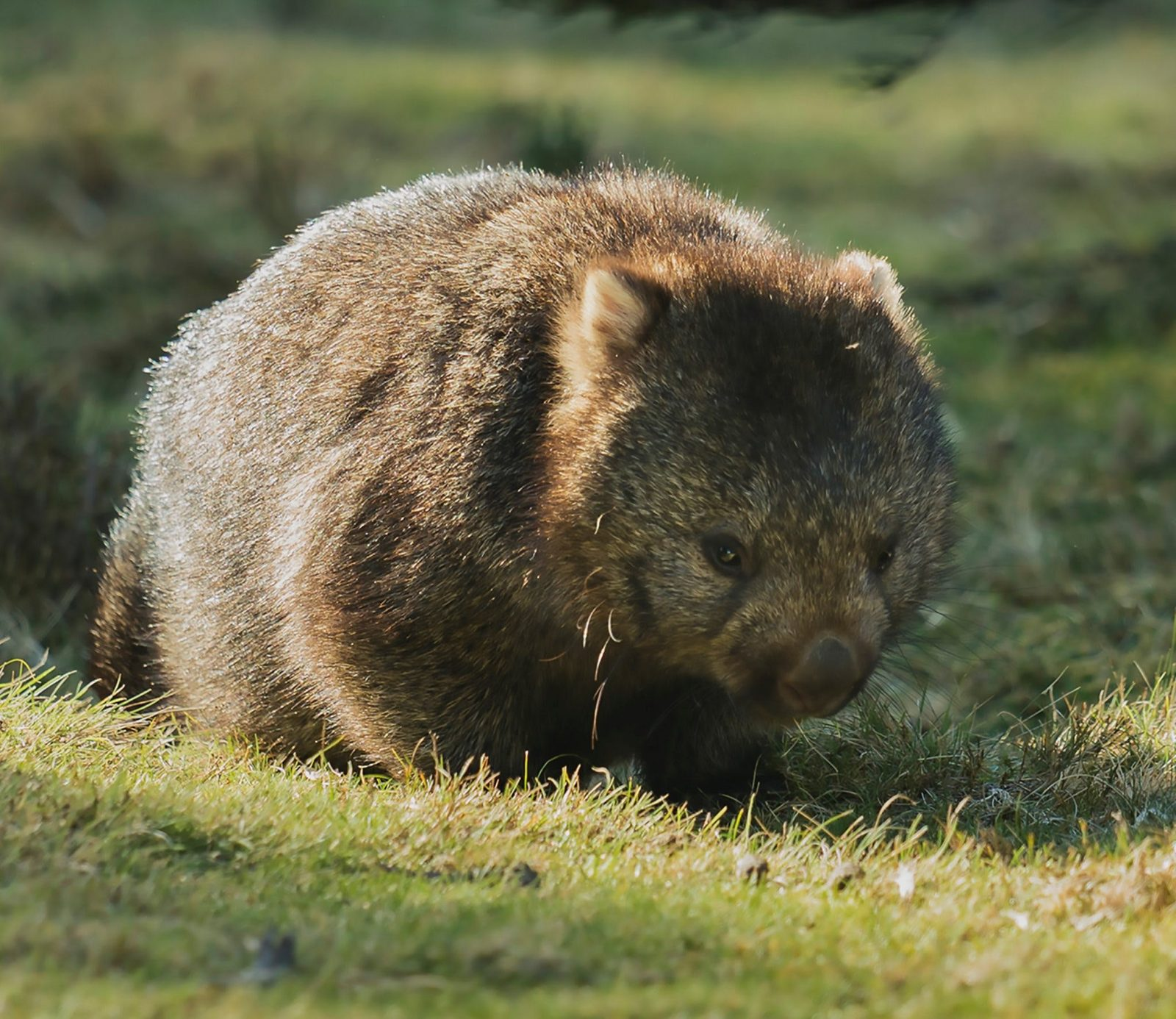 A Wombat seen on one of our day tours