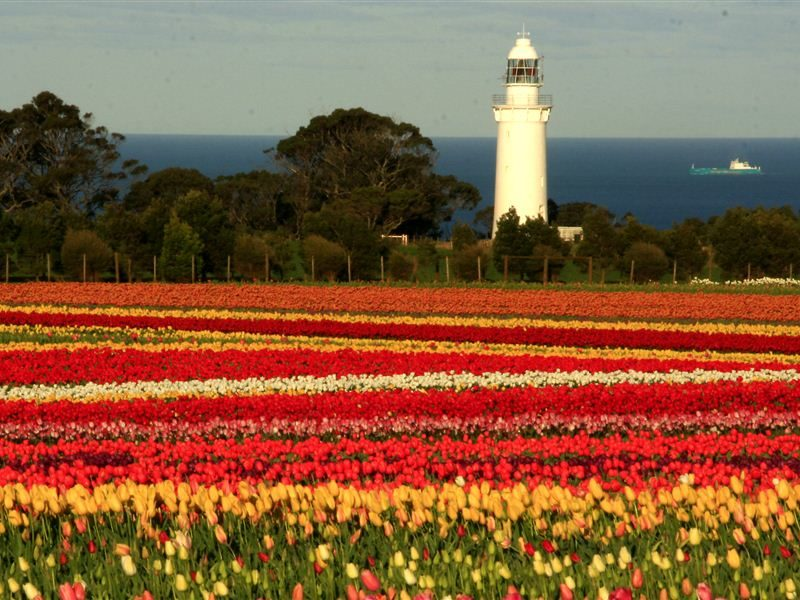 Tulips on Table Cape - Wynyard