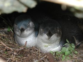 Little penguins in nest