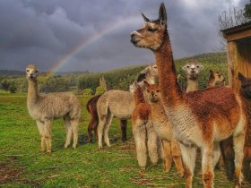 Herd of alpacas in paddock with rainbow.