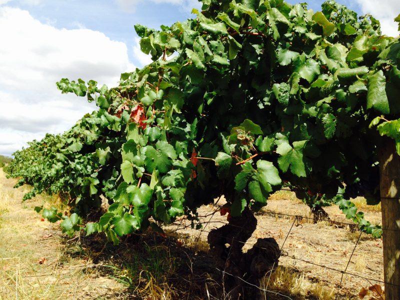 100 year old vines at Taminick Cellars