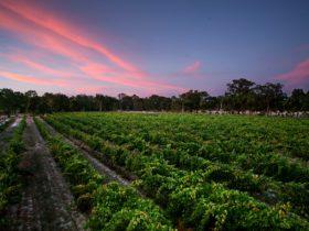 Amherst Winery's vineyard