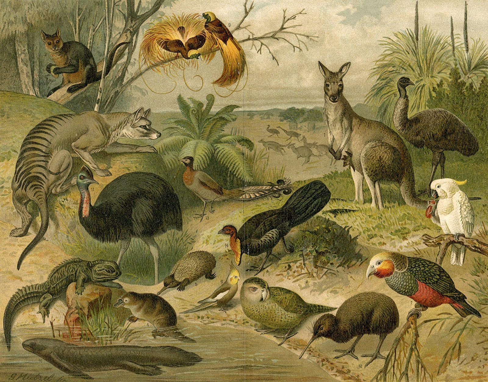 Animalia Australis