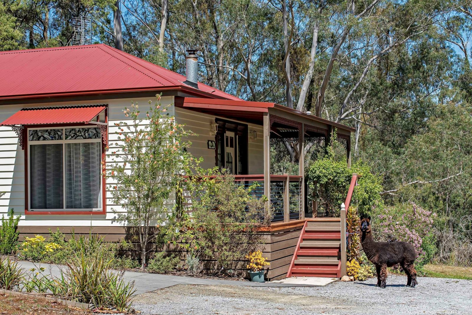 Leo is one of the alpacas that grazes the paddocks at Araluen Park Cottages.