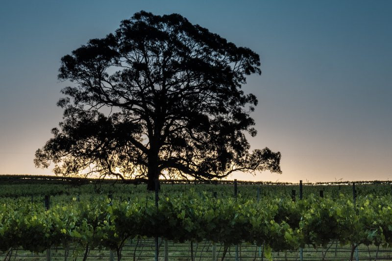 Sunset over the vines at ATR Wines