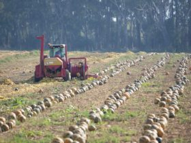 Harvesting machine in action.