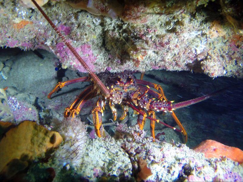 Southern Rock Lobster, Crayfish, Queenscliff, Barwon Heads, Diving, Underwater Photos